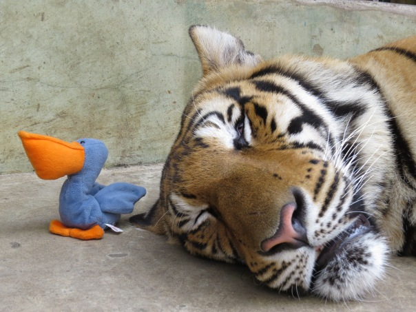 Melican the pelican by a live tiger in Tiger Kingdom, Chiang Mai, Thailand